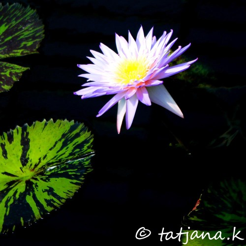 waterlily in Kew Gardens