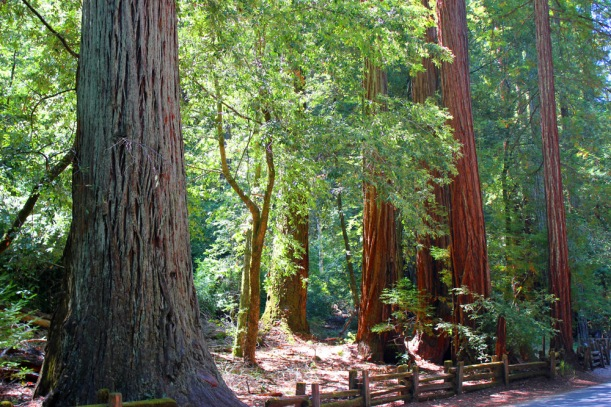 big-basin-redwoods (34)